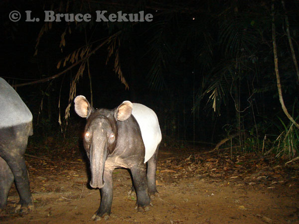 Young Asian tapir and mother in Khlong Saeng Wildlife Sanctuary