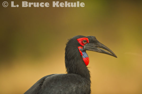 African southern ground hornbill