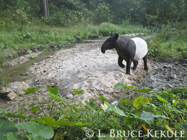 Asian Tapir in Huai Kha Khaeng Wildlife Sanctuary