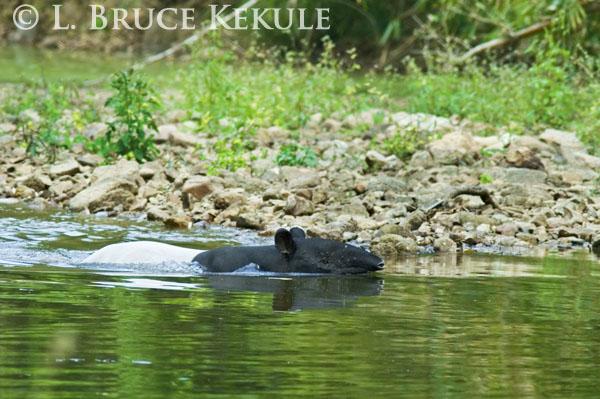 Asian tapir swimming in Kaeng Krachan