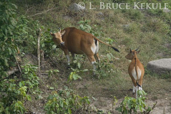 Banteng mother and young bull in Huai Khaeng