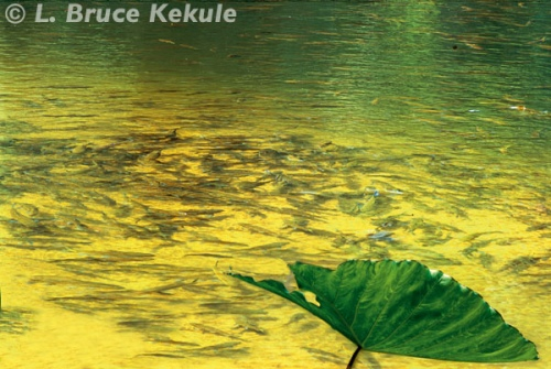 Crocodile pond in the Phetchaburi River, Kaeng Krachan