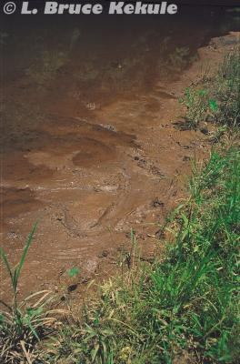 Crocodile tracks by the Phetchaburi River