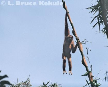 Gibbon hanging from bamboo in Kaeng Krachan
