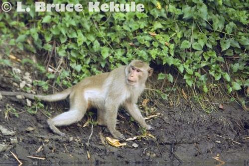 Crab-eating macaque in Huai Kha Khaeng