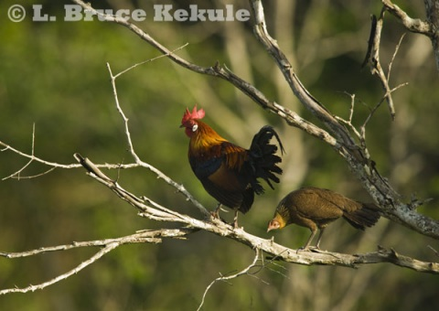 Red jungle fowl in Khao Ang Rue Nai