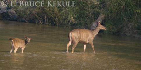 Sambar doe and fawn crossing Huai Kha Khaeng