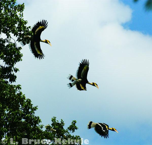 Great hornbill in Kaeng Krachan