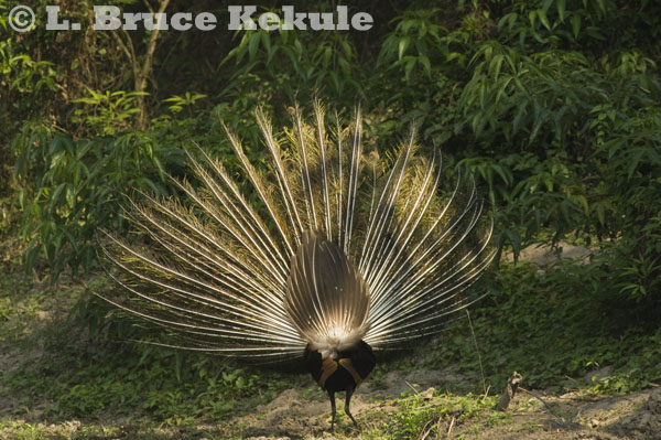 Green peafowl male display in Huai Kha Khaeng