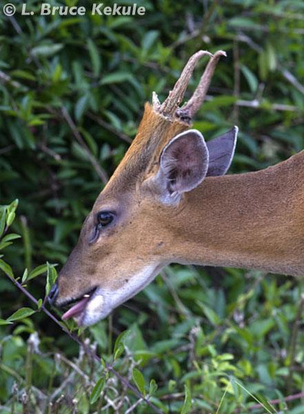 Common muntjac - barking deer