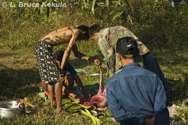 Male mauntjac dead and being carved-up in Sai Yok