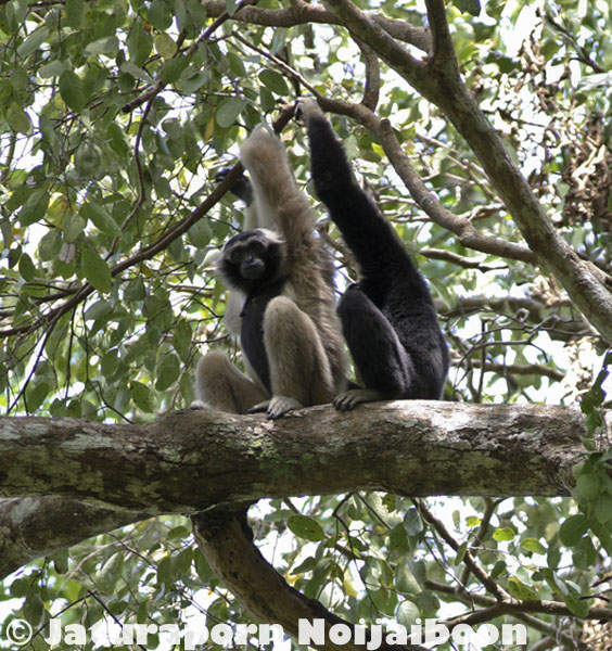 Pileated gibbon in Khao Ang Rue Nai