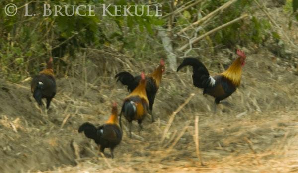 Red jungle fowl - Western sub-species