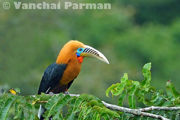 Rufous-necked hornbill in Mae Wong