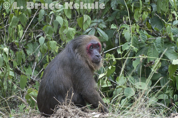 Stump-tailed macaque in Kaeng Krachan