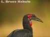 African southern ground hornbill