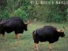 Guar bulls in Huai Kha Khaeng