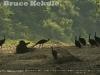 Green peafowl flock in Huai Kha Khaeng