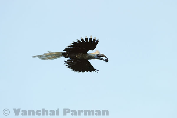 White-crowned hornbill in Hala-Bala
