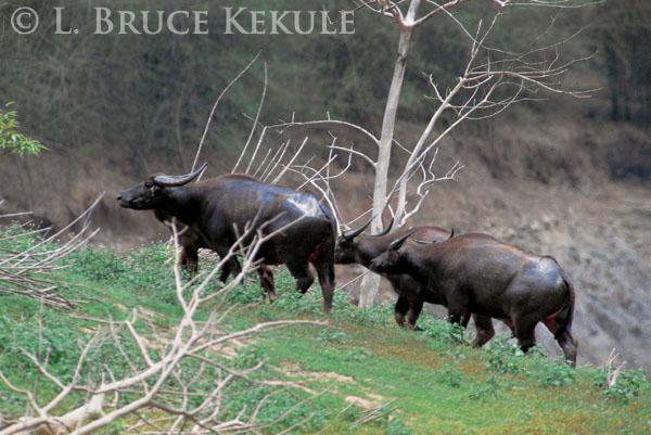 Wild water buffalo cows in Huai Kha Khaeng
