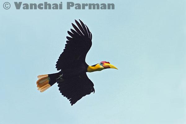 Wrinkled hornbill in Hala-Bala