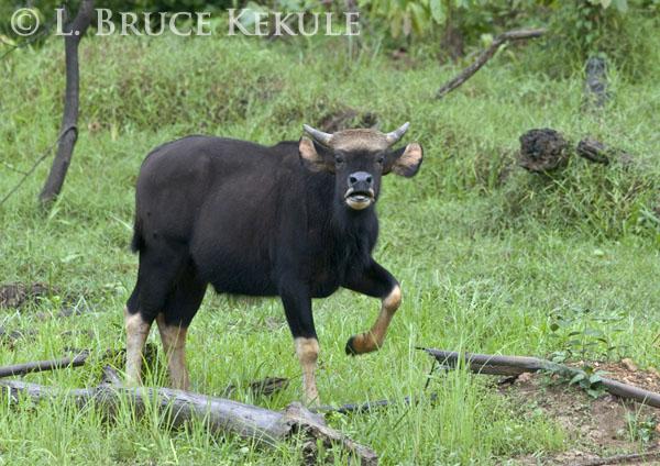 Young gaur bull in Khlong Saeng