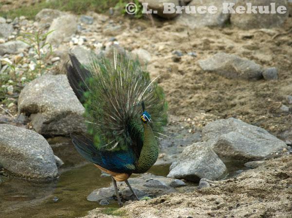 Green peafowl juvenile in Huai Kha Khaeng